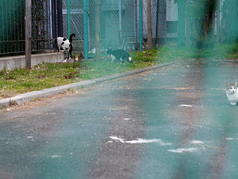 金網フェンスと猫たち4