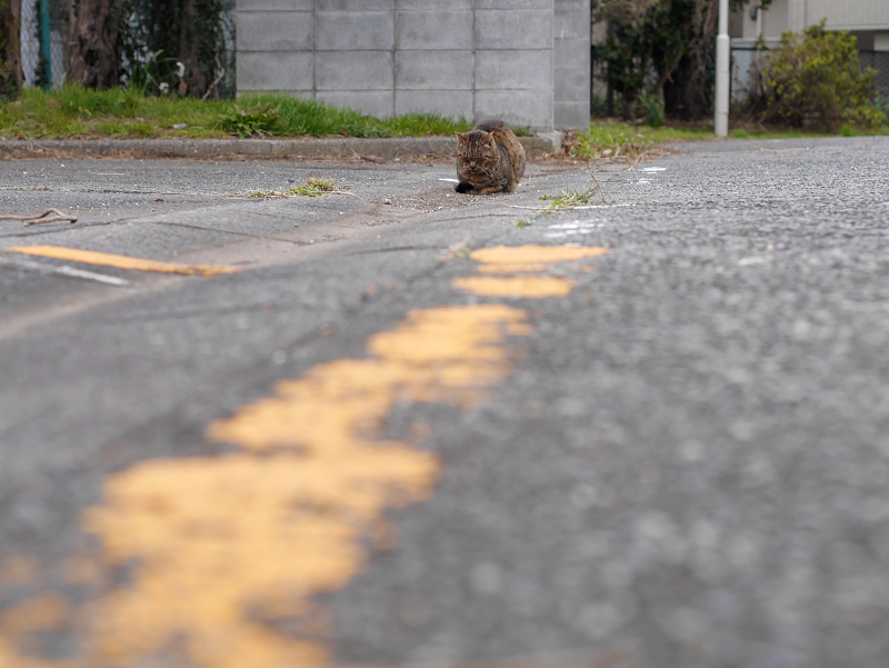 黄色線とキジトラ猫
