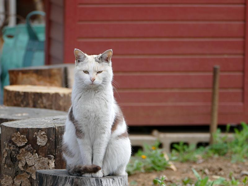 薄三毛猫の視線1
