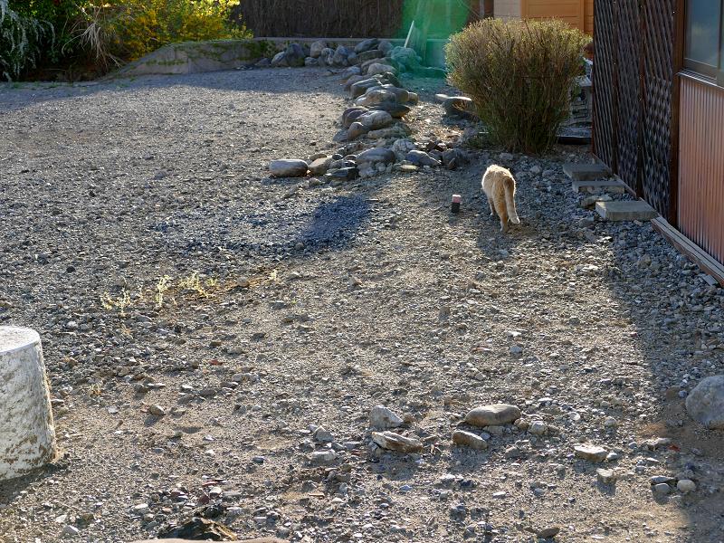 空き地を歩いてく白茶猫1