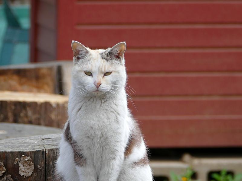 薄三毛猫の視線2