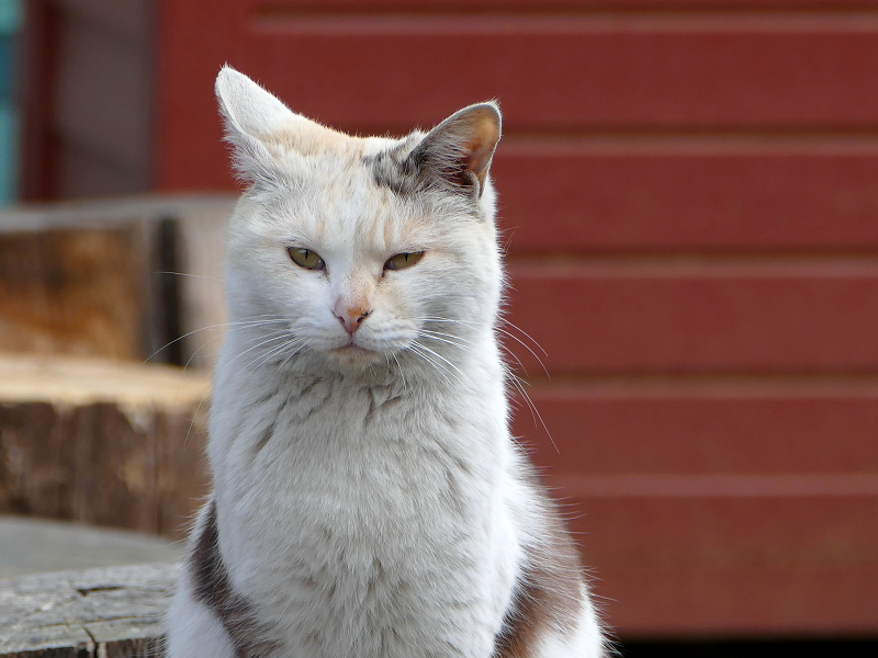 薄三毛猫の視線3
