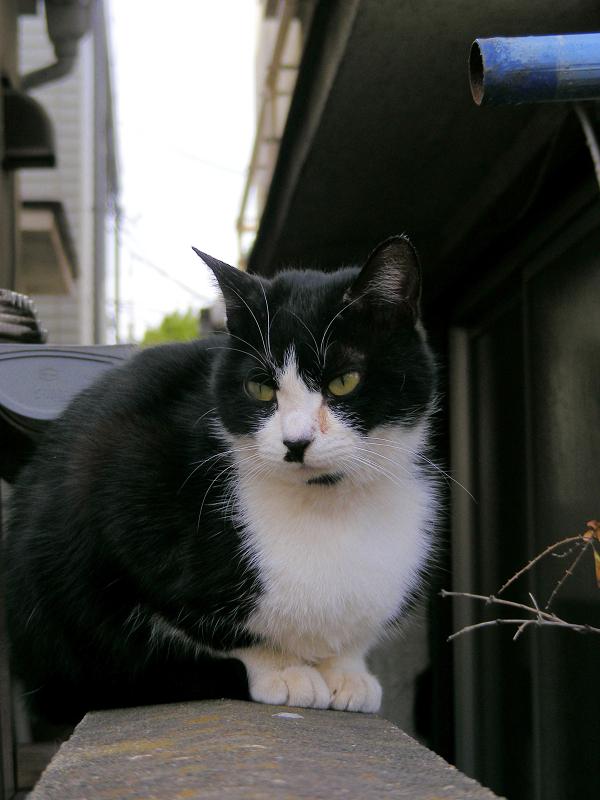 ブロック塀上の黒白猫