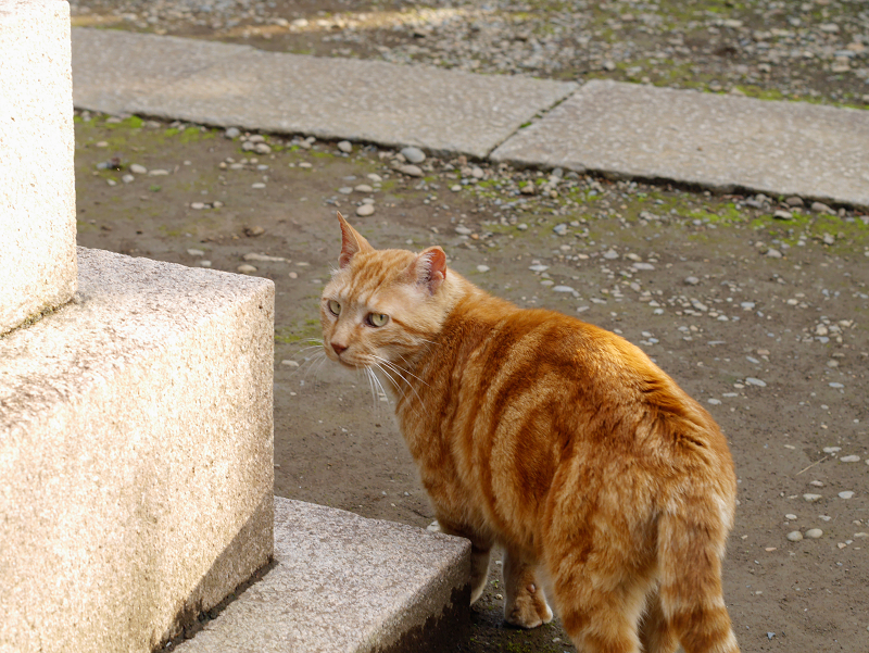振り返るアメショー風の猫1