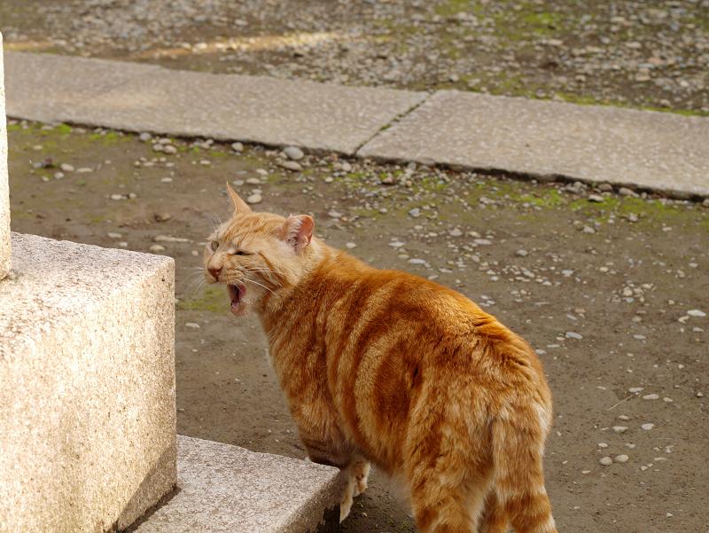 振り返るアメショー風の猫3