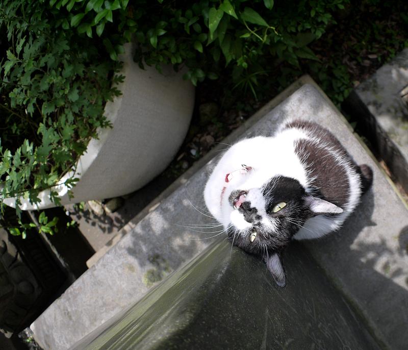 上を向いて石碑に後頭部を擦り付ける白黒猫