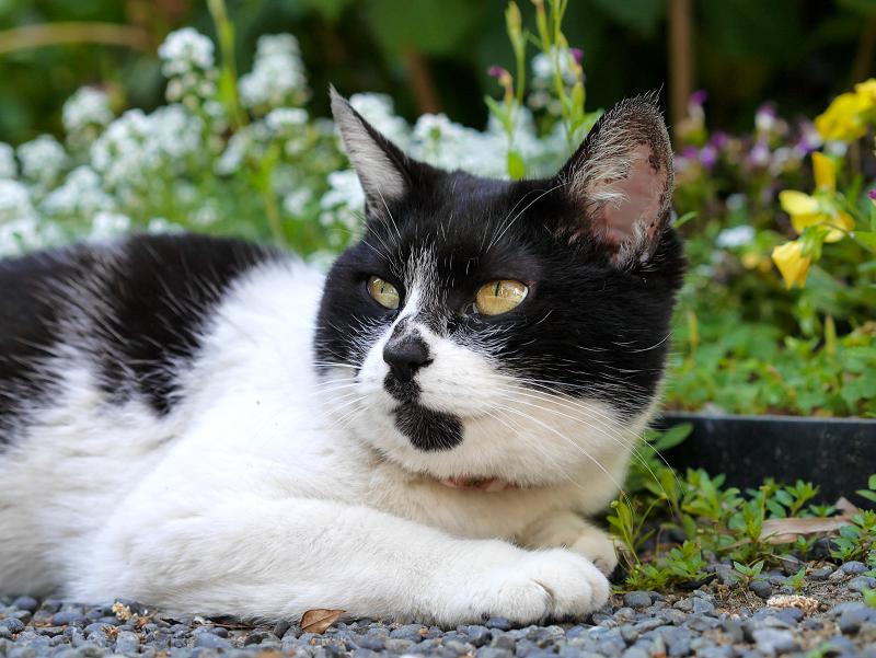 飛ぶ物を見ている白黒猫1