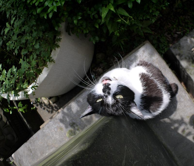 上を向いて石碑に後頭部を擦り付ける白黒猫1