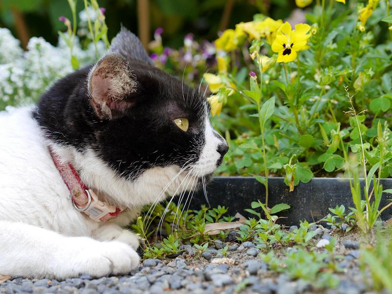 飛ぶ物を見ている白黒猫2