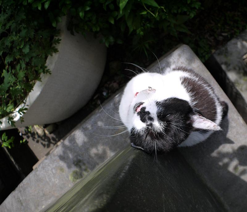上を向いて石碑に後頭部を擦り付ける白黒猫2