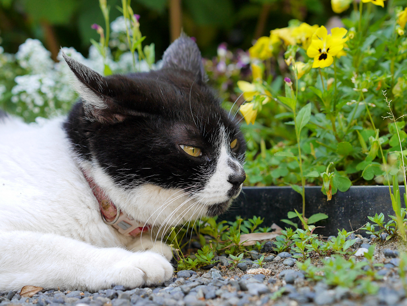 飛ぶ物を見ている白黒猫3