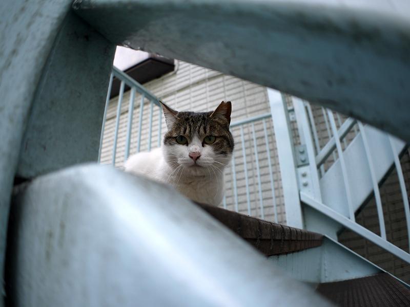 階段上のキジ白猫