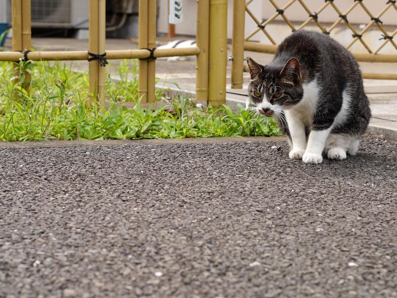 竹垣前のキジ白猫1