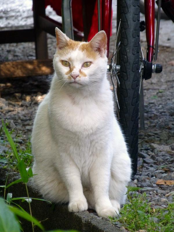 真剣顔の白茶猫1