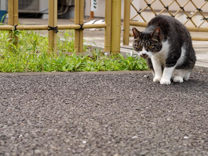 竹垣前のキジ白猫2