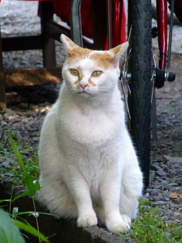 真剣顔の白茶猫2