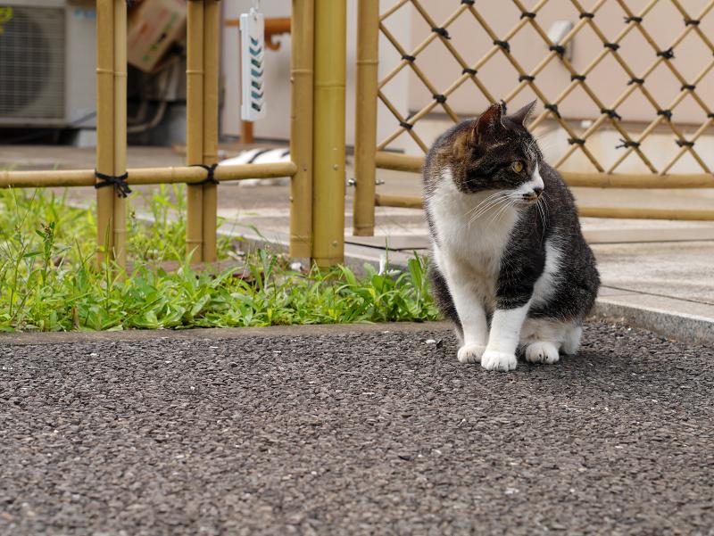 竹垣前のキジ白猫3