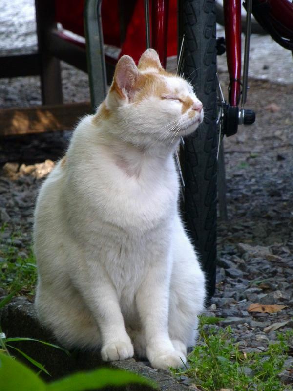 真剣顔の白茶猫3