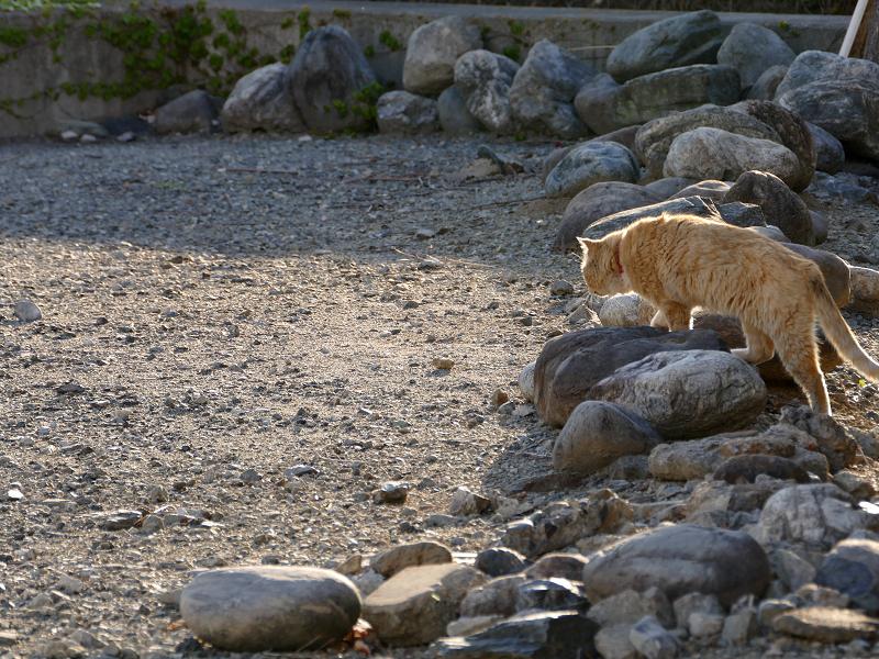 空き地の端まで歩く茶トラ猫1