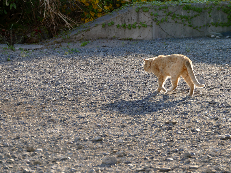 空き地の端まで歩く茶トラ猫2