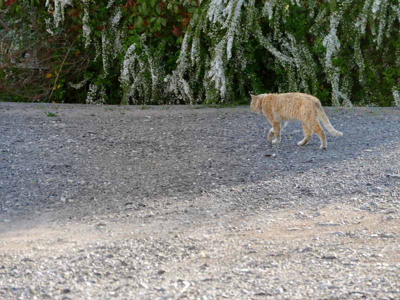 空き地の端まで歩く茶トラ猫3