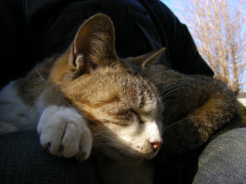 キジ白猫の寝顔2