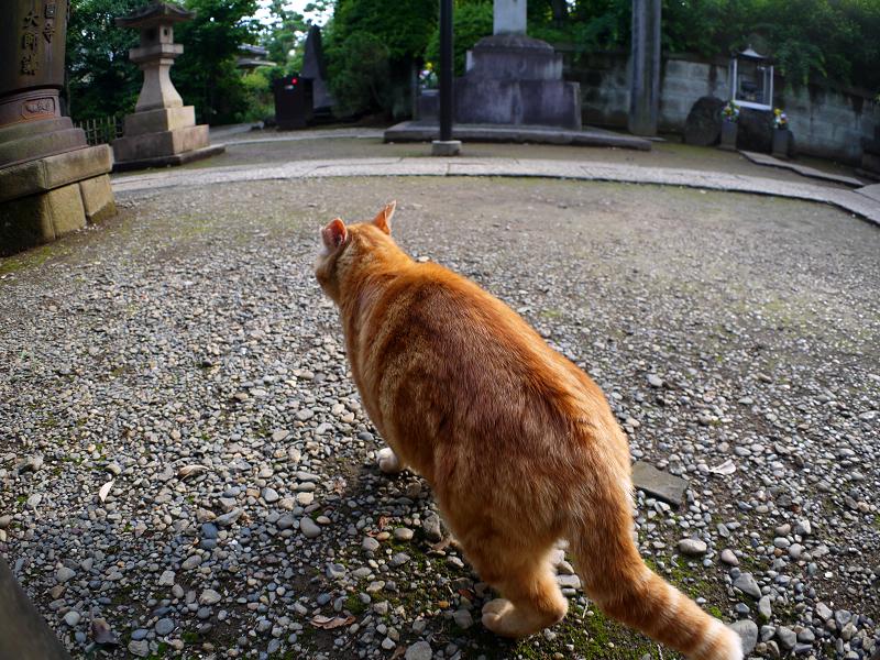 私の周りをうろつくアメショー風の猫1