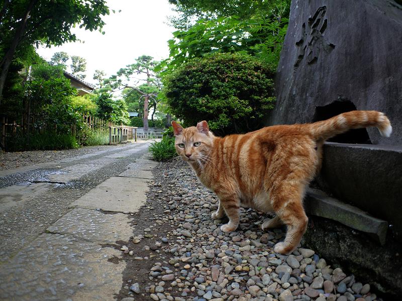 私の周りをうろつくアメショー風の猫2