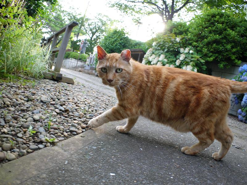 私の周りをうろつくアメショー風の猫3