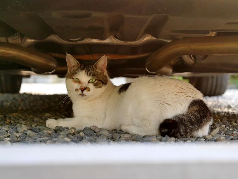 車の下の白キジ猫3