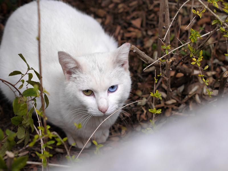 白猫ハイアングルオッド・アイ1