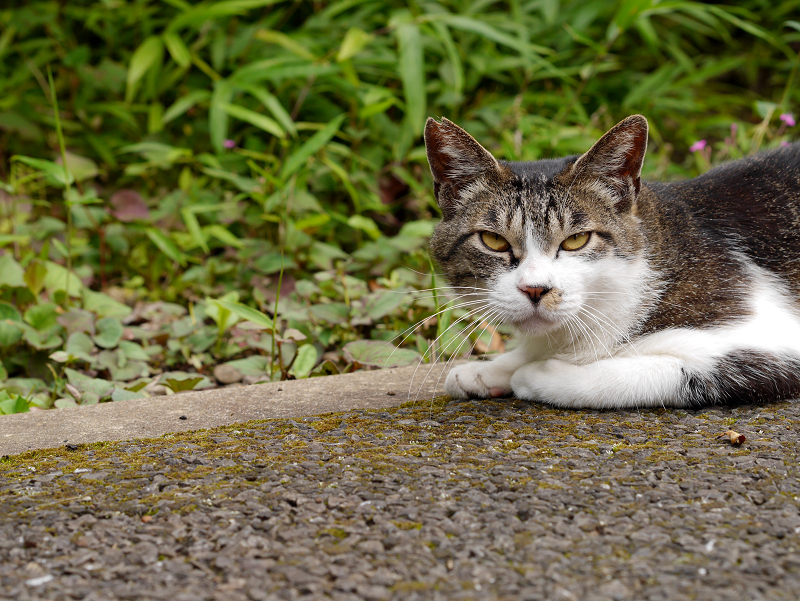 地面に腹ばってるキジ白猫1