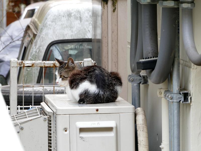 室外機上のキジ白猫1