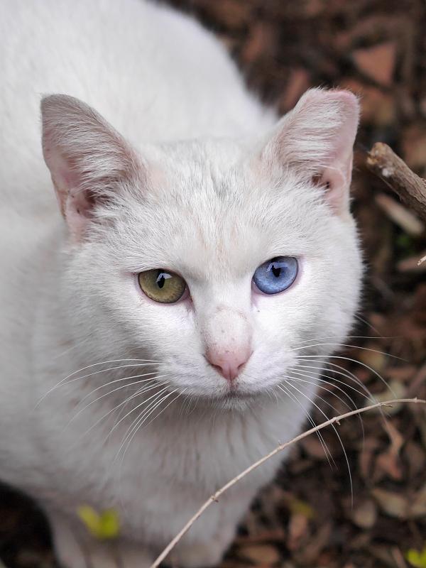 白猫ハイアングルオッド・アイ2