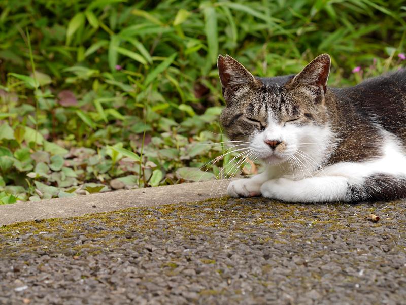 地面に腹ばってるキジ白猫2
