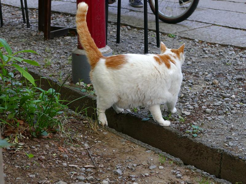 側溝の脇の白茶猫2