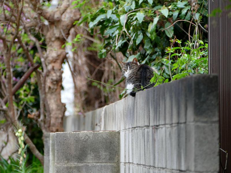 ブロック塀で振り返るキジ白猫1