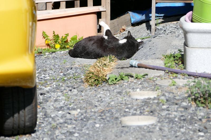 駐車場奥の黒白猫1