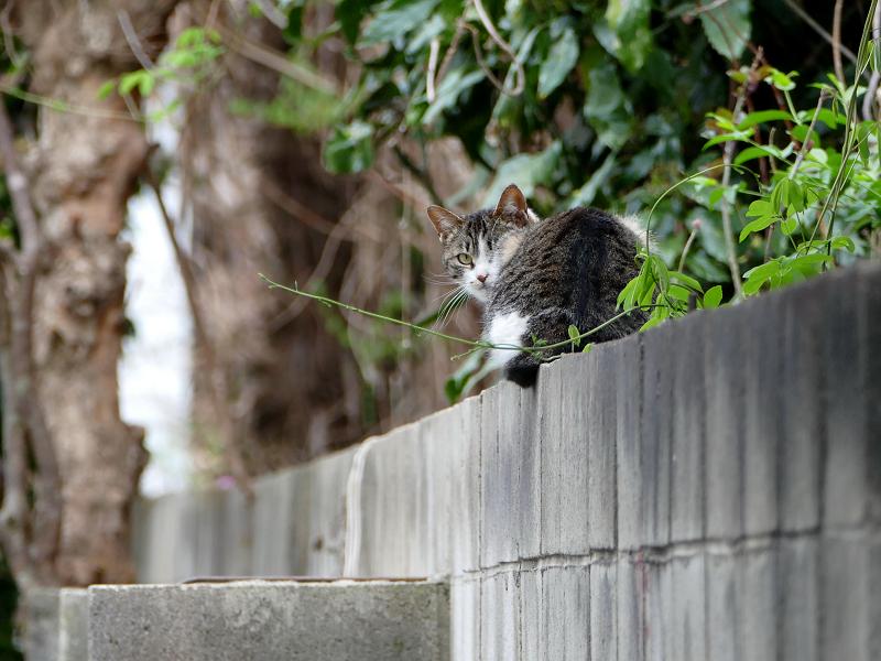 ブロック塀で振り返るキジ白猫2