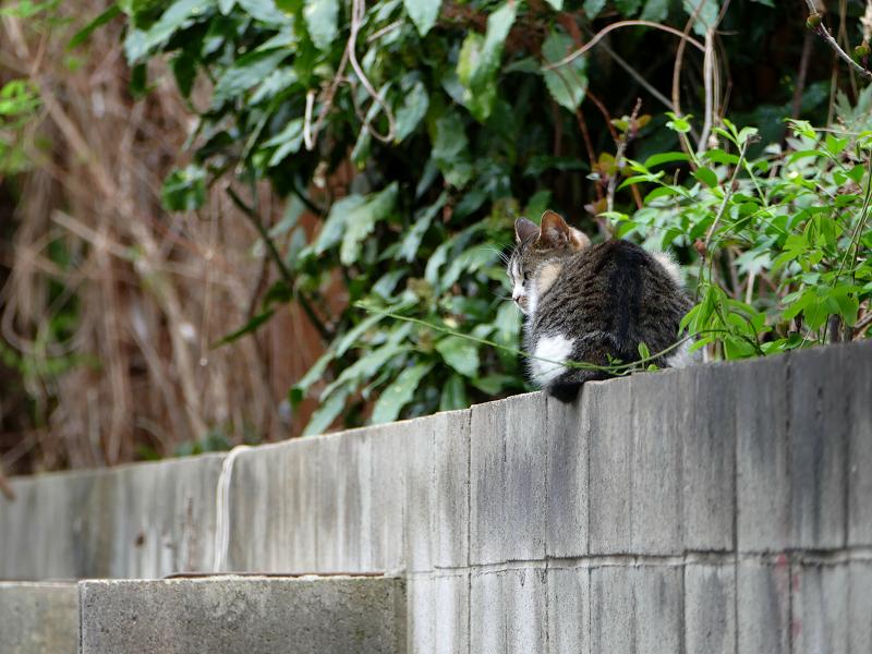 ブロック塀で振り返るキジ白猫3