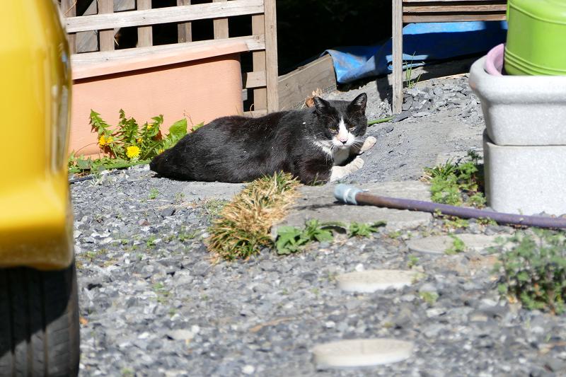 駐車場奥の黒白猫2