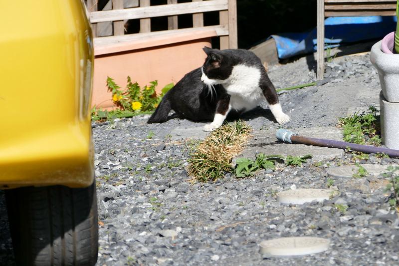 駐車場奥の黒白猫3