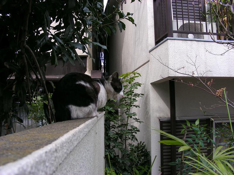マンションブロック塀の黒白猫1