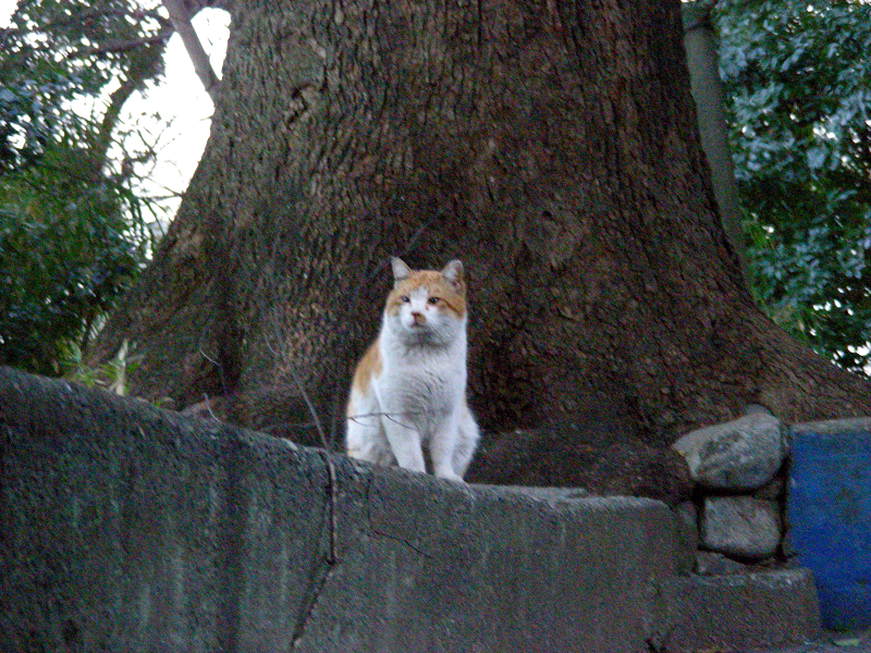 見上げればボス猫風猫1