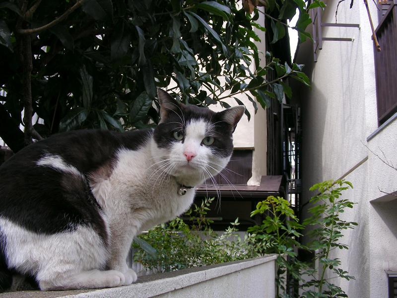 マンションブロックの黒白猫2