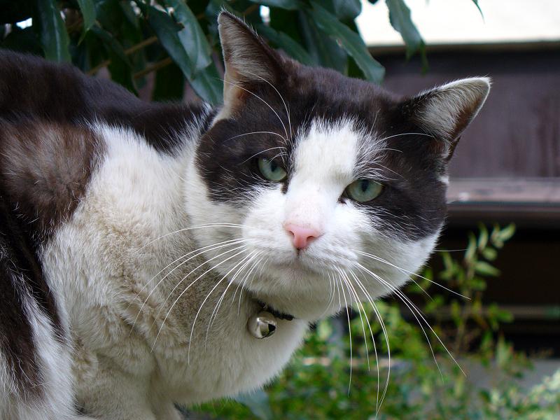 マンションブロックの黒白猫3