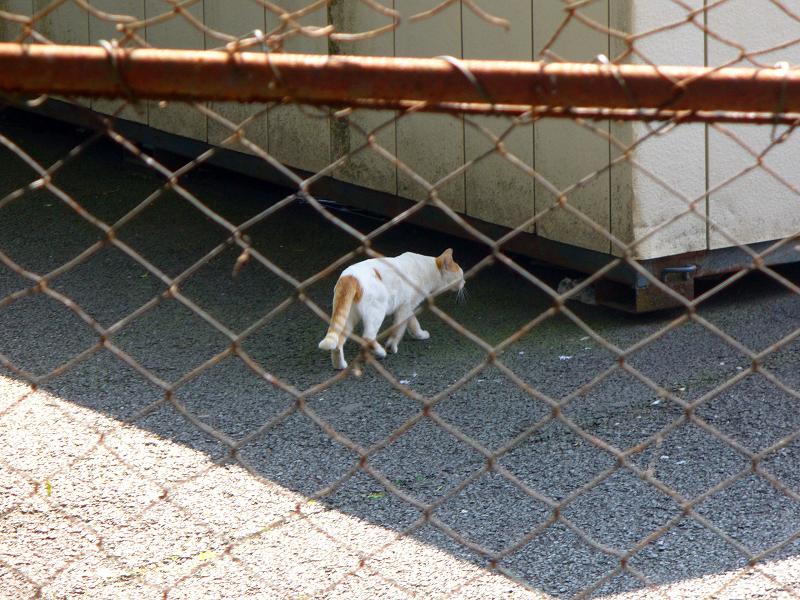 逃げ去る白茶猫3