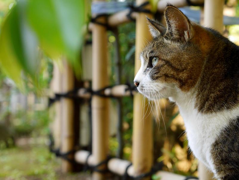 竹囲いとキジ白猫2