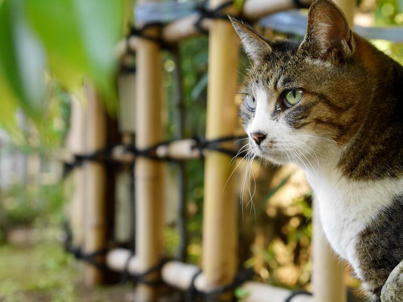 竹囲いとキジ白猫3