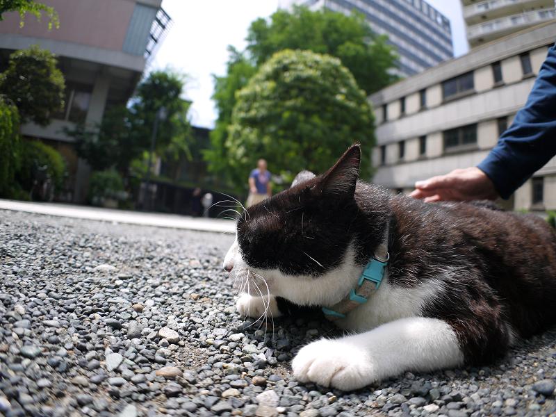 腰をトントンをせがむ黒白猫3